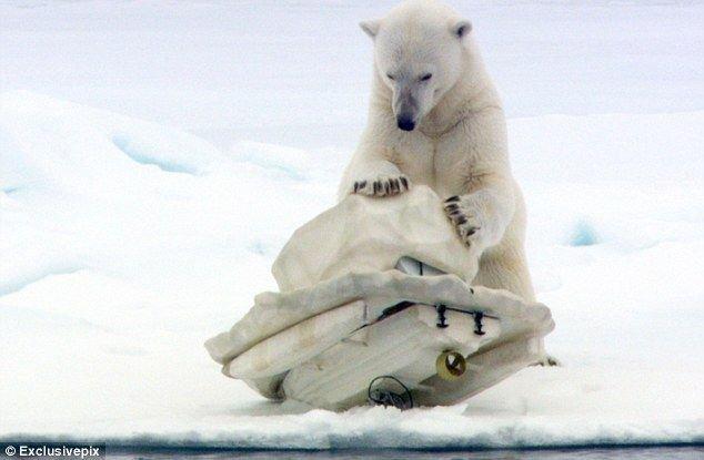 Белый медведь крушит скрытые камеры (7 фото)