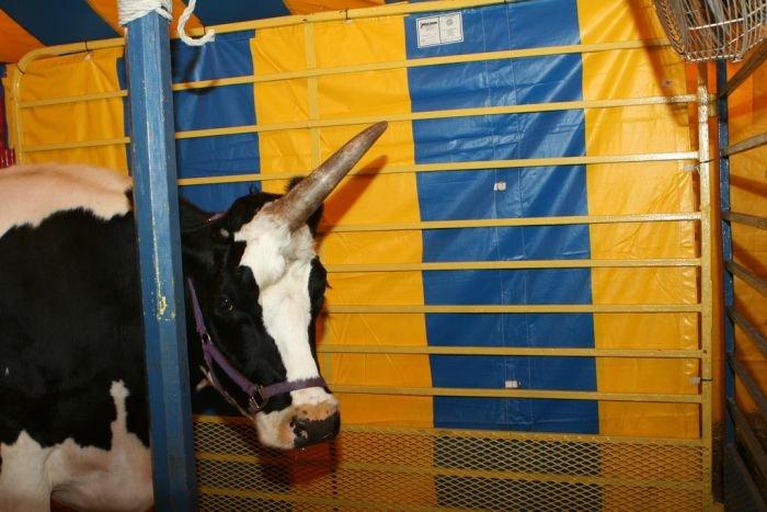 Корова с одним рогом (5 фото)