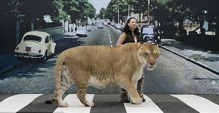 Самая большая кошка (7 фото + текст)