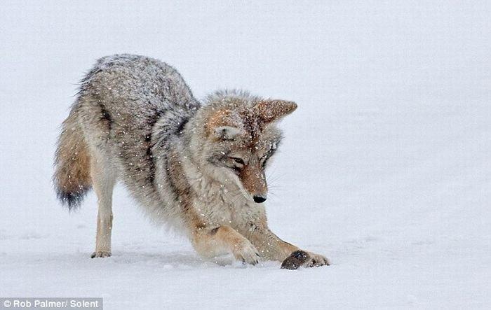 Мышь-полевка против койота (6 фото)