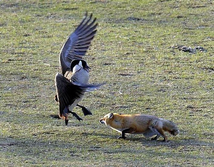 Суровые гуси (5 фото)