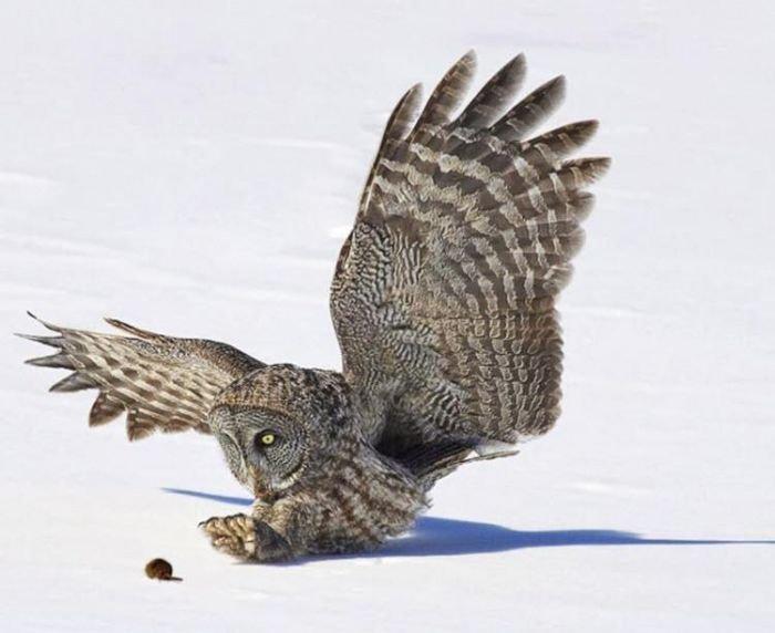 Сова ловит мышку (4 фото)