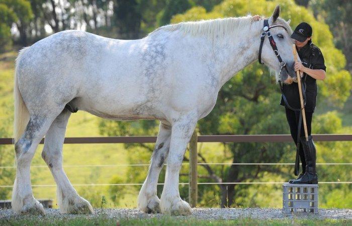 Самая большая лошадь (2 фото)