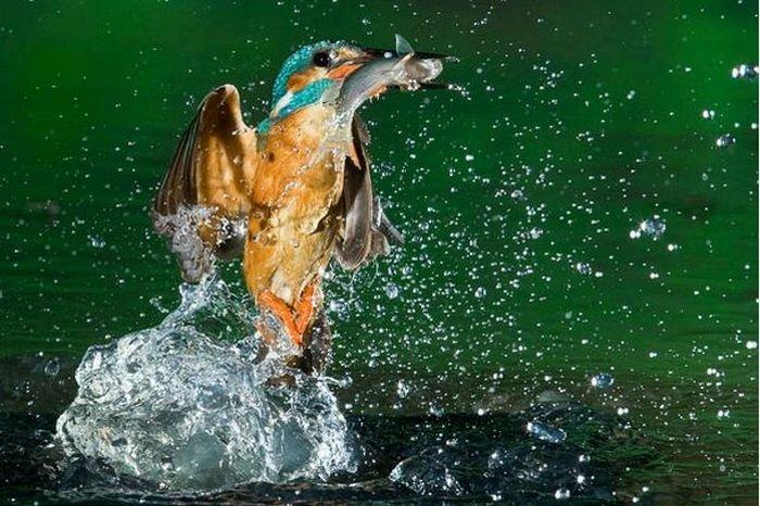 Зимородок ловит рыбу (15 фото)