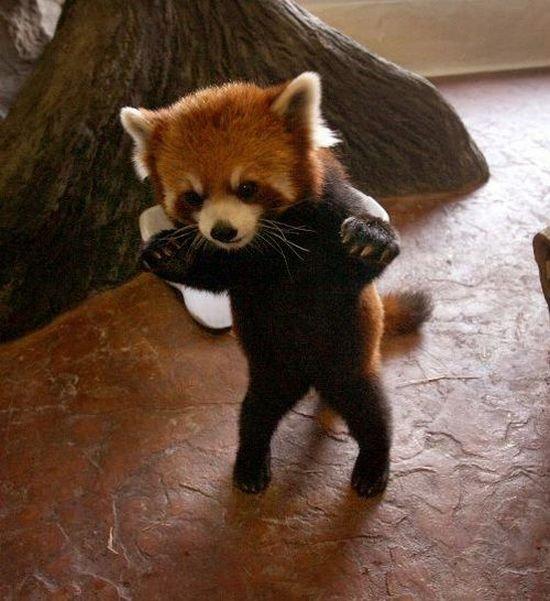 Красная панда (9 фото)