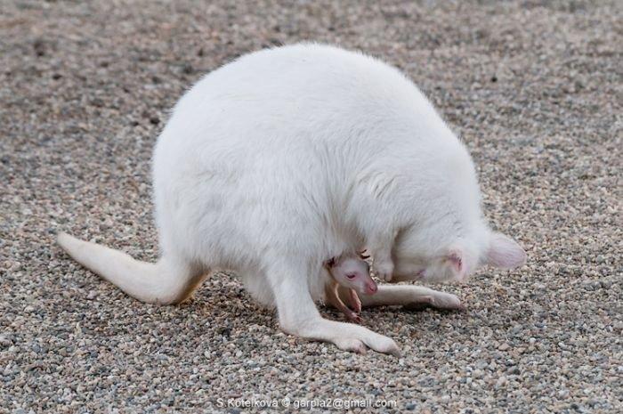 Кенгуру-альбинос с малышом (15 фото)