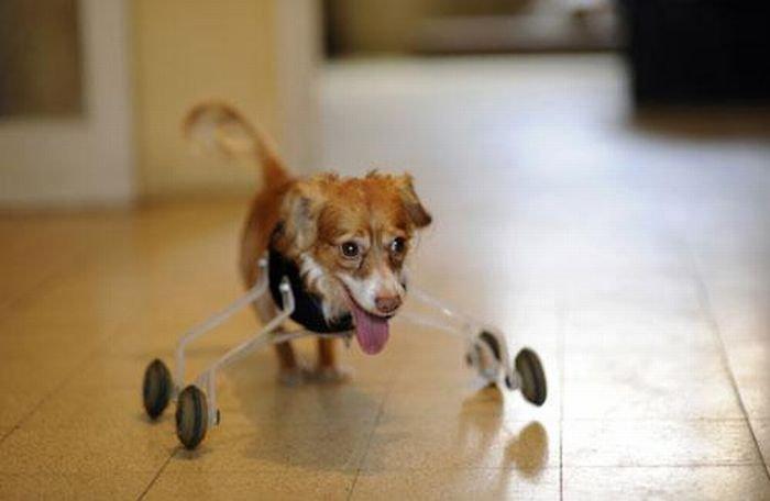 Двулапая собака (4 фото)