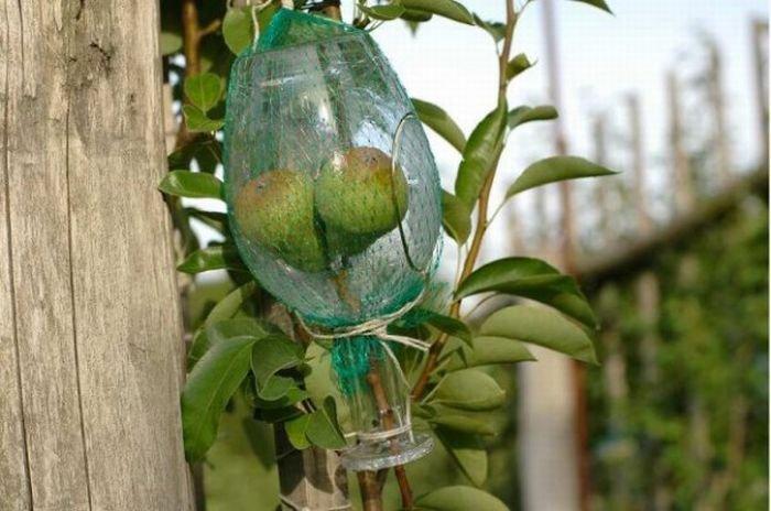 Груши в бутылке (9 фото)