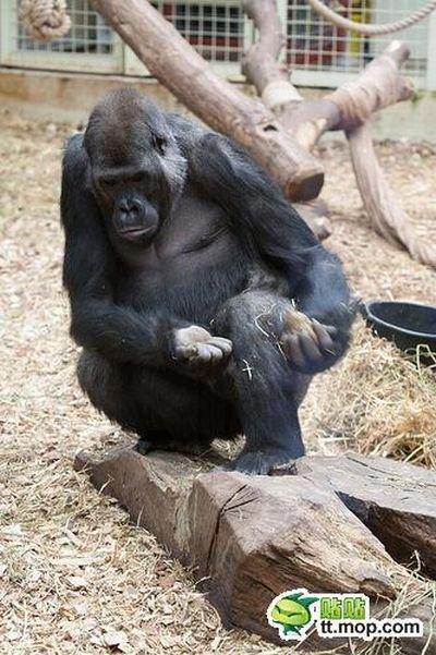 Обед обезьянки (11 фото)