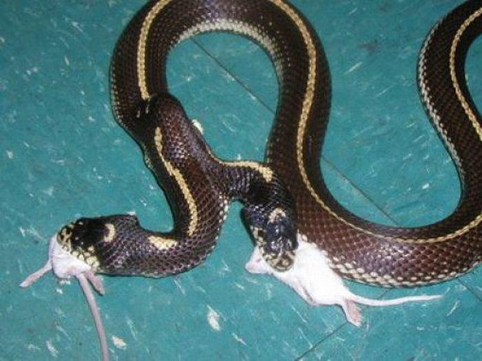 Змеи с двумя головами (28 фото)