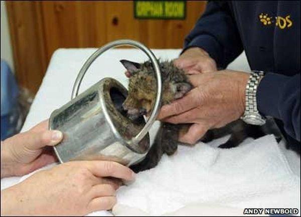 Спасение застрявшего лисенка (12 фото)
