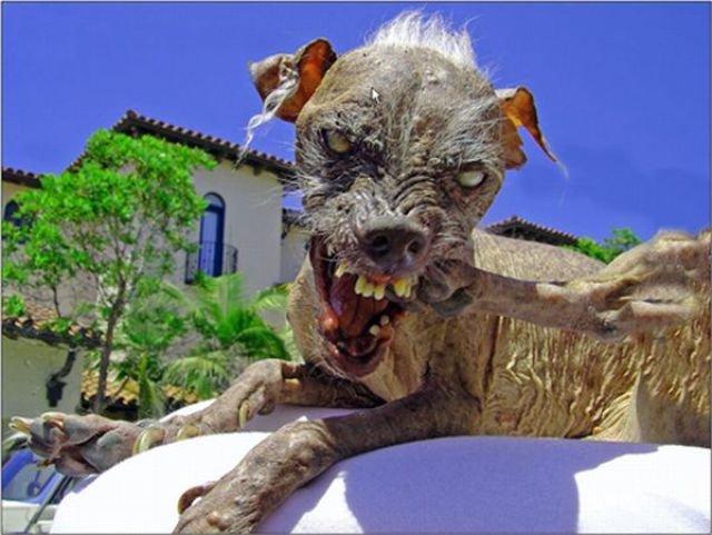 Самые уродливые собаки (20 фото)