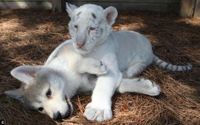 Дружба волчонка и тигрят (4 фото)