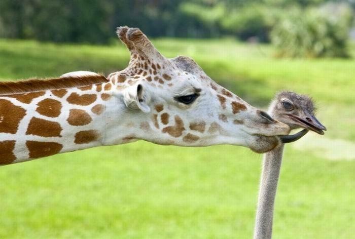 Дружба жирафа и страуса (3 фото)