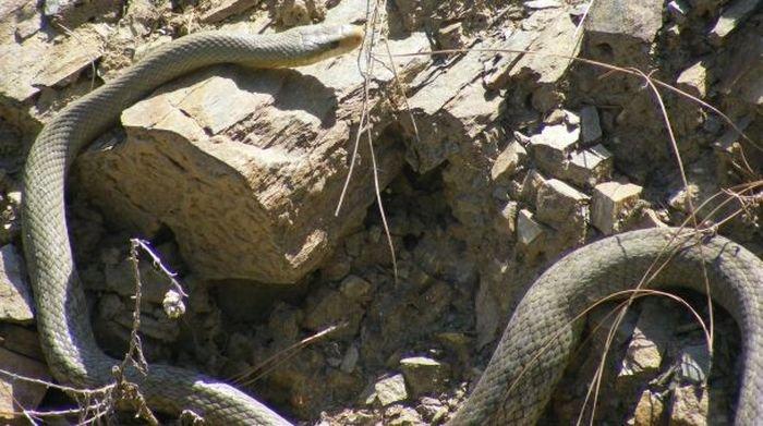 Секс у змей (26 фото)