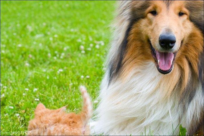 Встреча котенка и собаки (14 фото)
