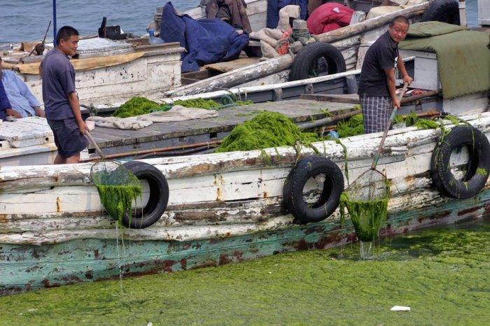 Китай атаковали водоросли (15 фото)