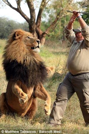 Игры со львом (4 фото)
