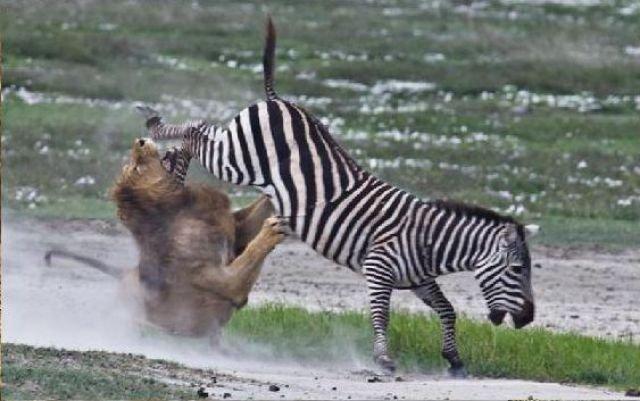 Львы охотятся на зебр (10 фото)