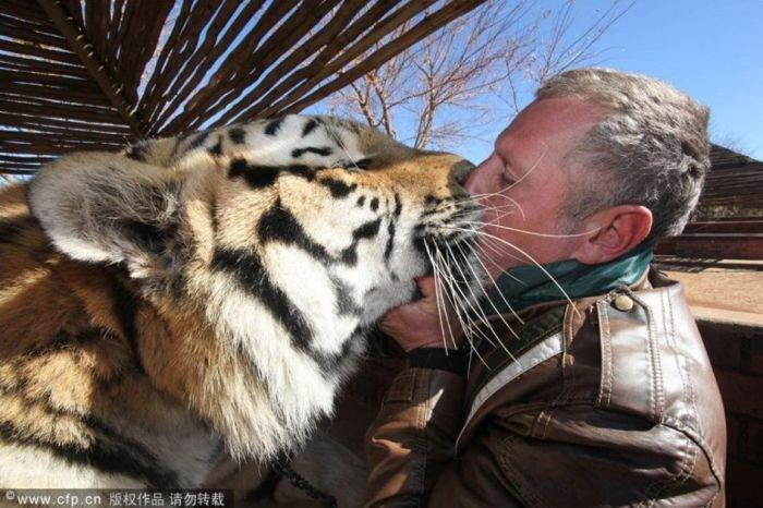 Дружба с тиграми (4 фото)