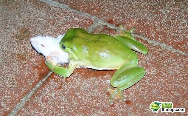 Обед лягушки (9 фото)