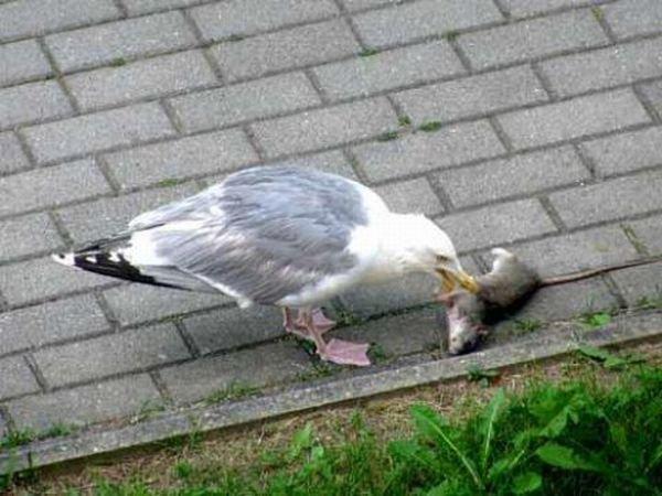 Чайка жрет крысу (5 фото)