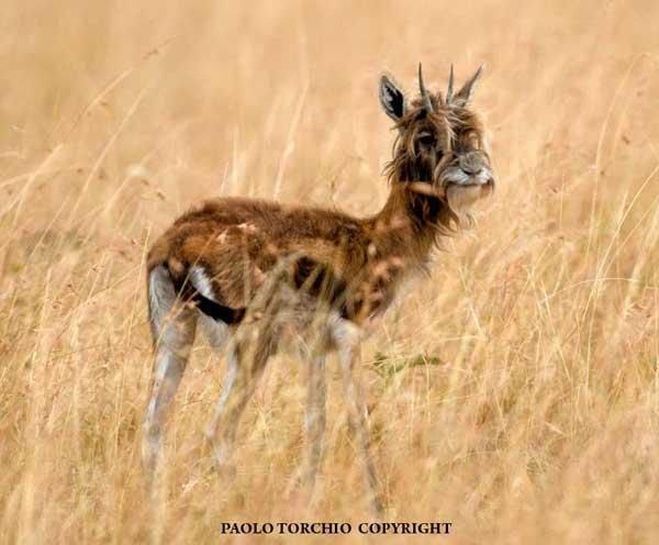 Необычная антилопа (3 фото)