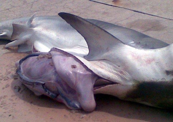 Акула-людоед (8 фото)