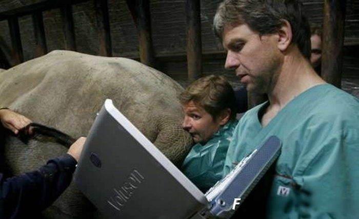 Осеменение носорога (11 фото)