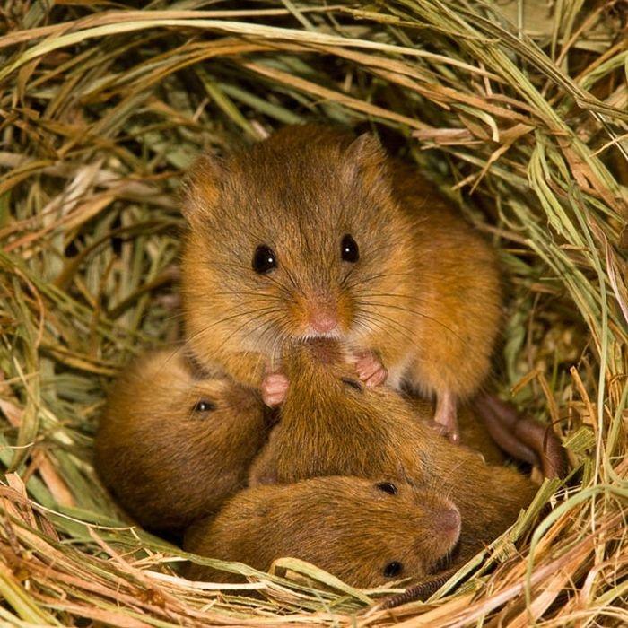 Мыши-полевки (17 фото)