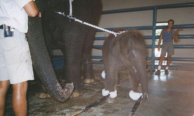 Жесть. Как дрессируют слонов (23 фото)