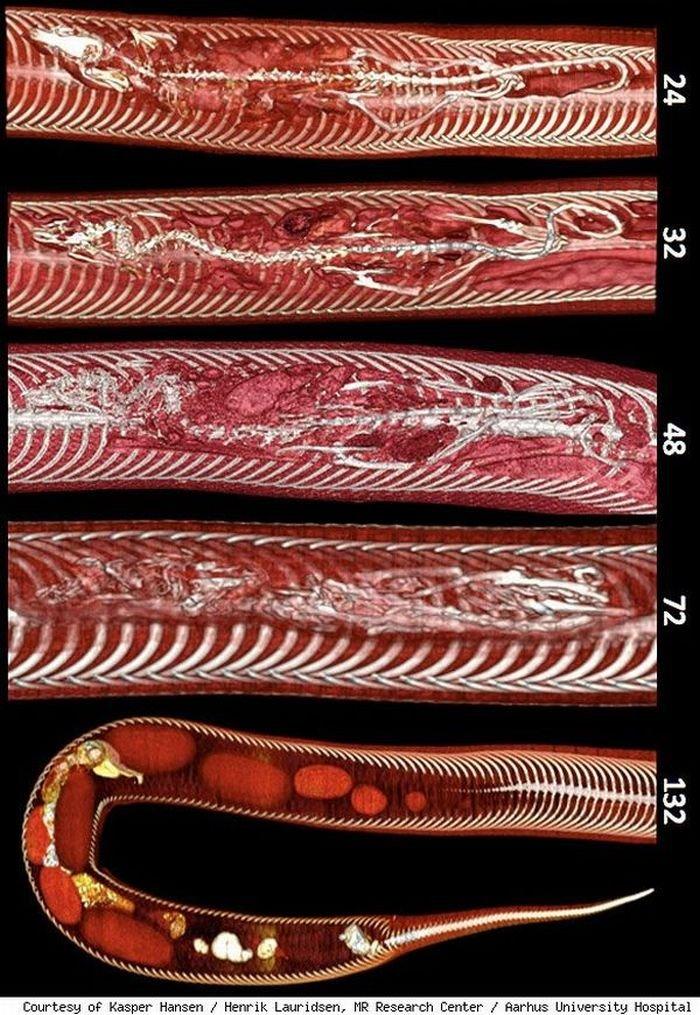 Крыса внутри питона под рентгеном (4 фото)