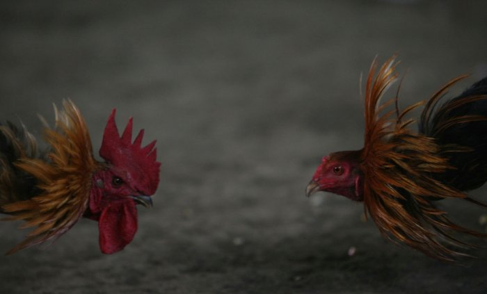 Петушиные бои (20 фото)