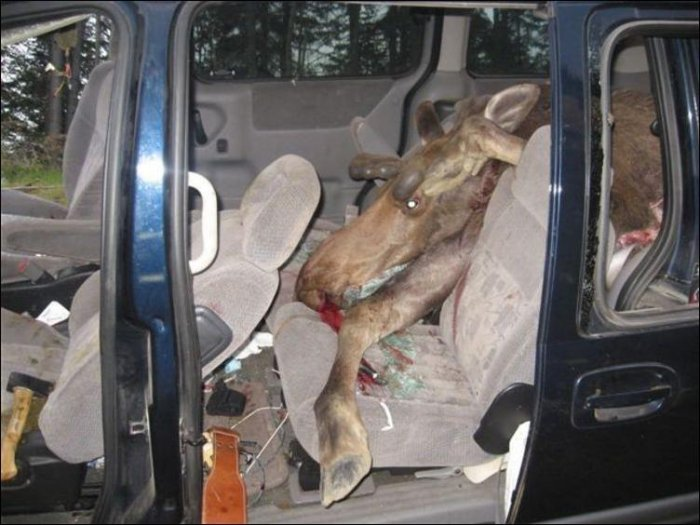 Парень сбил лося (10 фото)