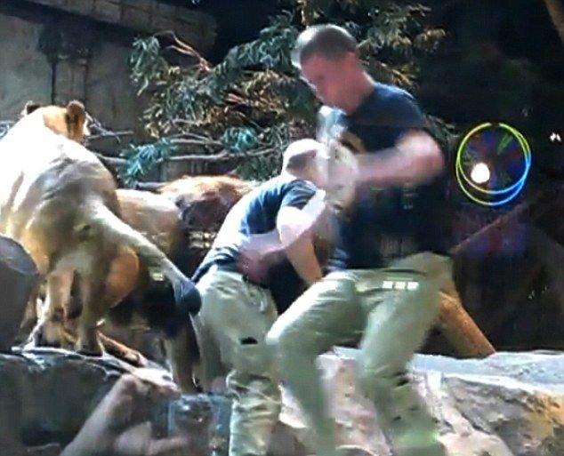 Лев атаковал дрессировщика (4 фото + видео)