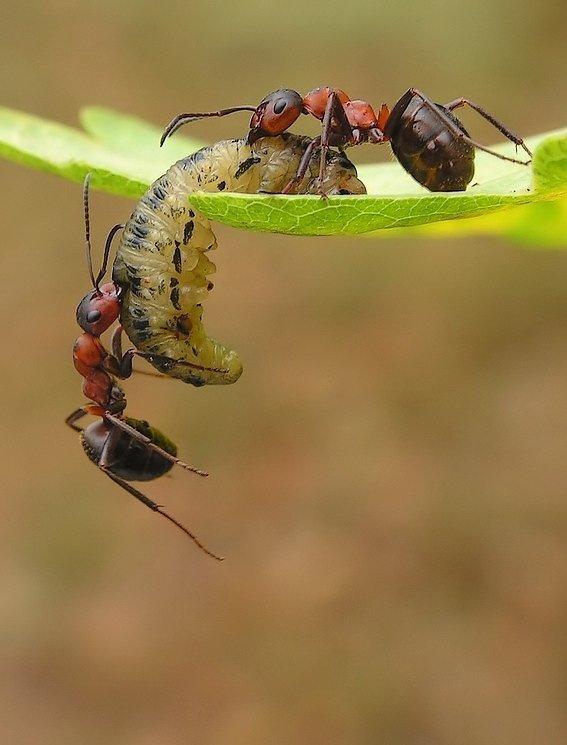 Макромир муравьев (13 фото)