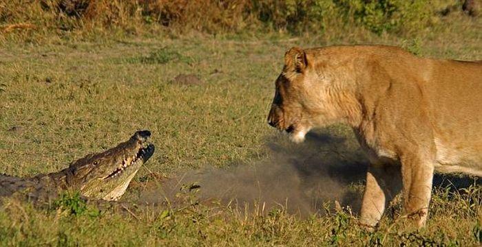 Крокодил против львиц (9 фото)