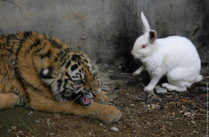 Тигр против кролика (3 фото)