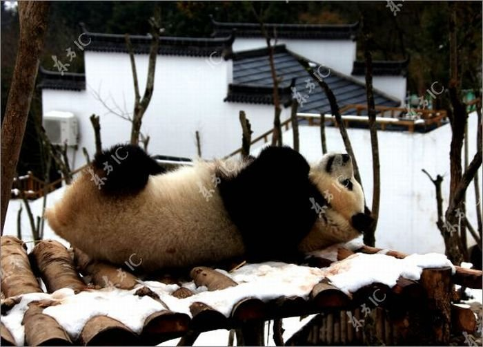 Панда радуется выпавшему снегу (30 фото)