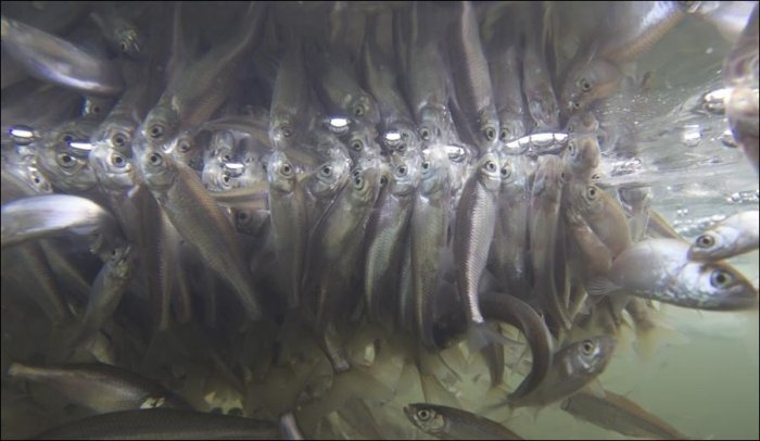 Задыхающиеся рыбы (8 фото)