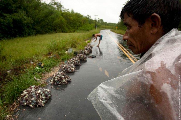 Ловля крабов в Бразилии (8 фото)