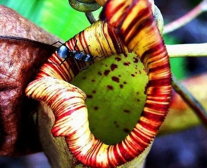 Растения-хищники (36 фото)