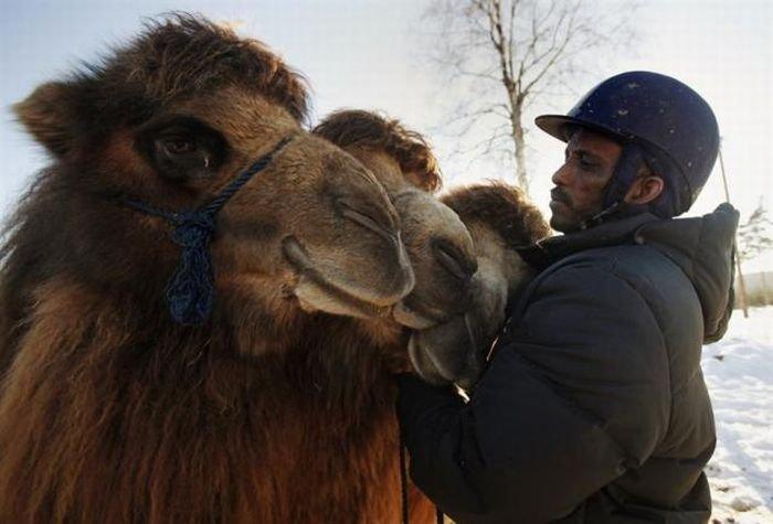 Верблюды в зимней Норвегии (12 фото)