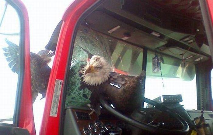 Орел врезался в грузовик (2 фото)