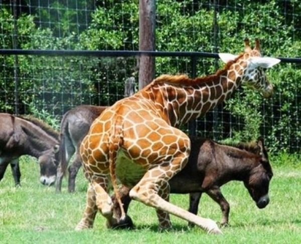 Жираф опасный зверь! (8 фото)