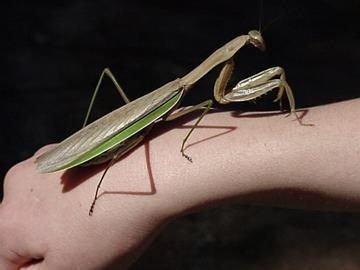 16 самых больших насекомых на планете (16 фото + текст)