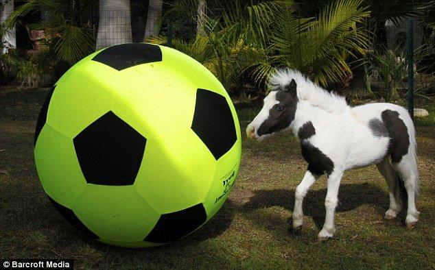 Самая маленькая лошадь в мире (5 фото)
