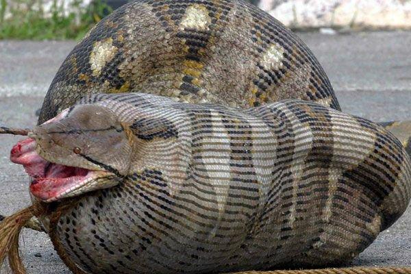 Змеи и их добыча (29 фото + текст)