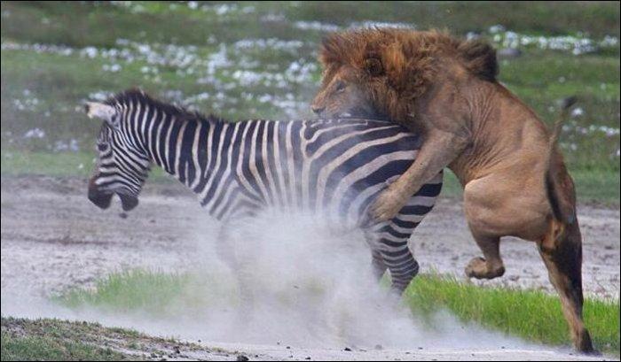 Зебра против льва (5 фото)