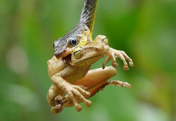 Змея ест лягушку (5 фото)